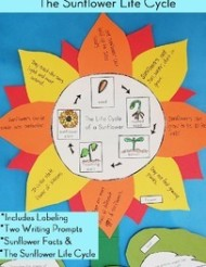 plant unit activity sunflower life cycle